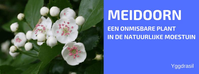 Plantbespreking: Meidoorn (Rozenfamilie, Rosaceae)