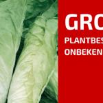 Plantbespreking: Groenlof (Cichorium intybus var. foliosum)