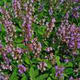1280px-Salvia_officinalis_001