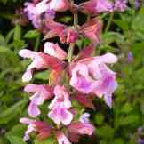 800px-Salvia_officinalis-20050607-1