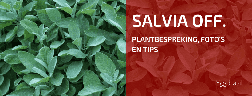 Plantbespreking: Salie (Salvia officinalis)