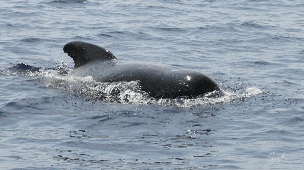 Globicéphale Noir (2)