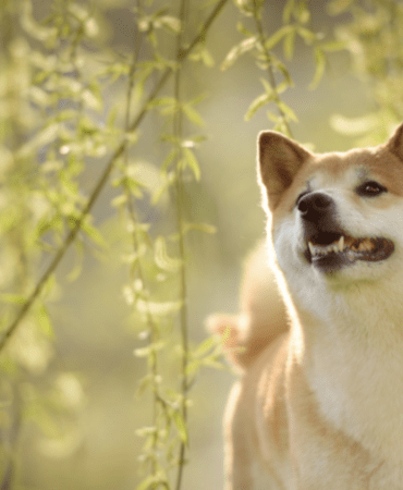 The shiba inu dog is the mascot for Dogecoin, a cryptocurrency people are investing in.