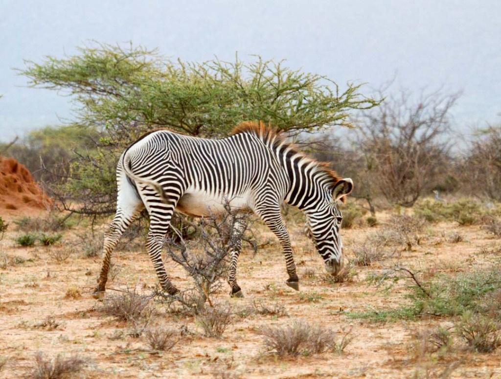 Grevy's Zebra, Northern Kenya | Photo by Nelson Guda © 2019