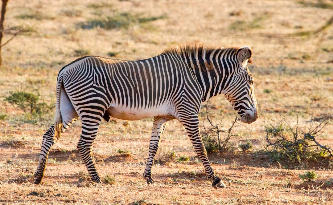 Grevy's Zebra, Northern Kenya | Photo by Nelson Guda © 2019