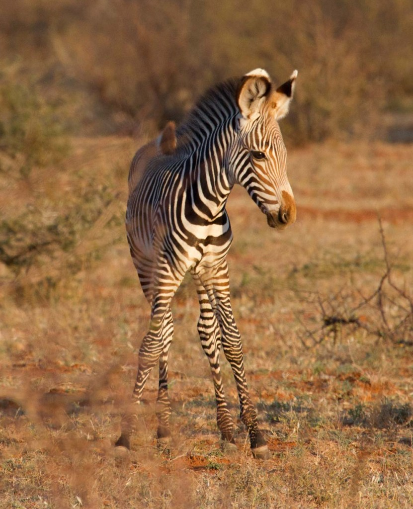 Grevy's Zebra foal, Northern Kenya | Photo by Nelson Guda © 2019
