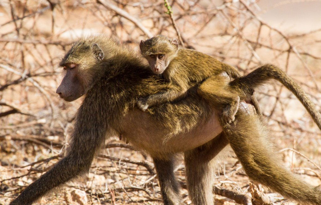 Baboon and baby, Northern Kenya | Photo by Nelson Guda © 2019