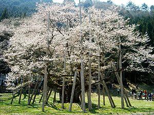 淡墨桜(cherry-Usuzumizakura)