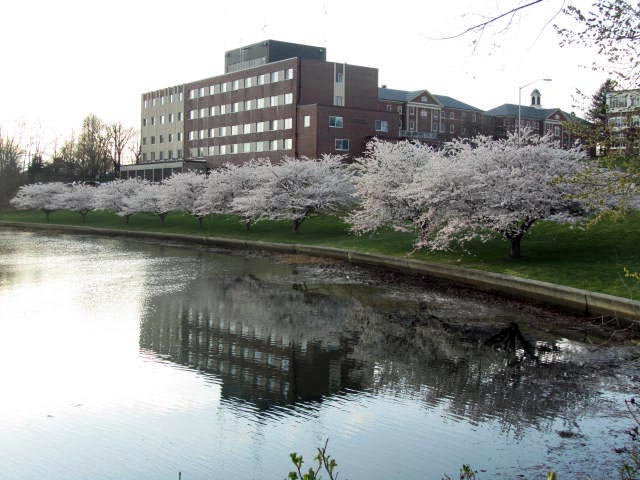 Portsmouth NH cherry trees in bloom