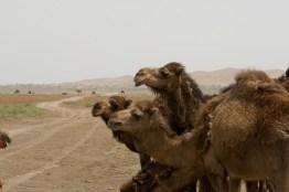 Kamele in der Dasht-e Kavir