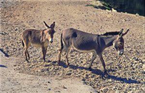 Oman: Wanderung mit Eseln in der Sharqiyah