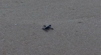 Oman: Schildkröte bei Ras al Jinz