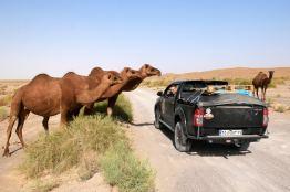 Weg nach Maranjab, Kamele am Auto