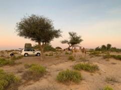 Kamele kommen zu Besuch