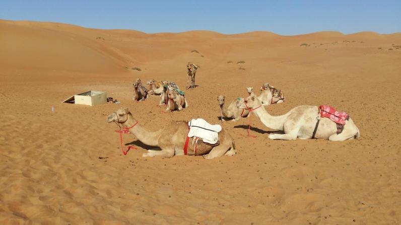 Kamele warten auf Gäste