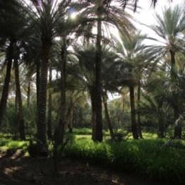 Palmengärten in Birkat al Mauz