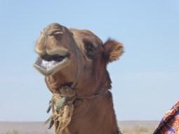 Blökendes Kamel in der Wüste