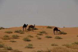 schwarze Kamele in der Rub al Khal