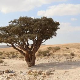 Weihrauchbaum Oman