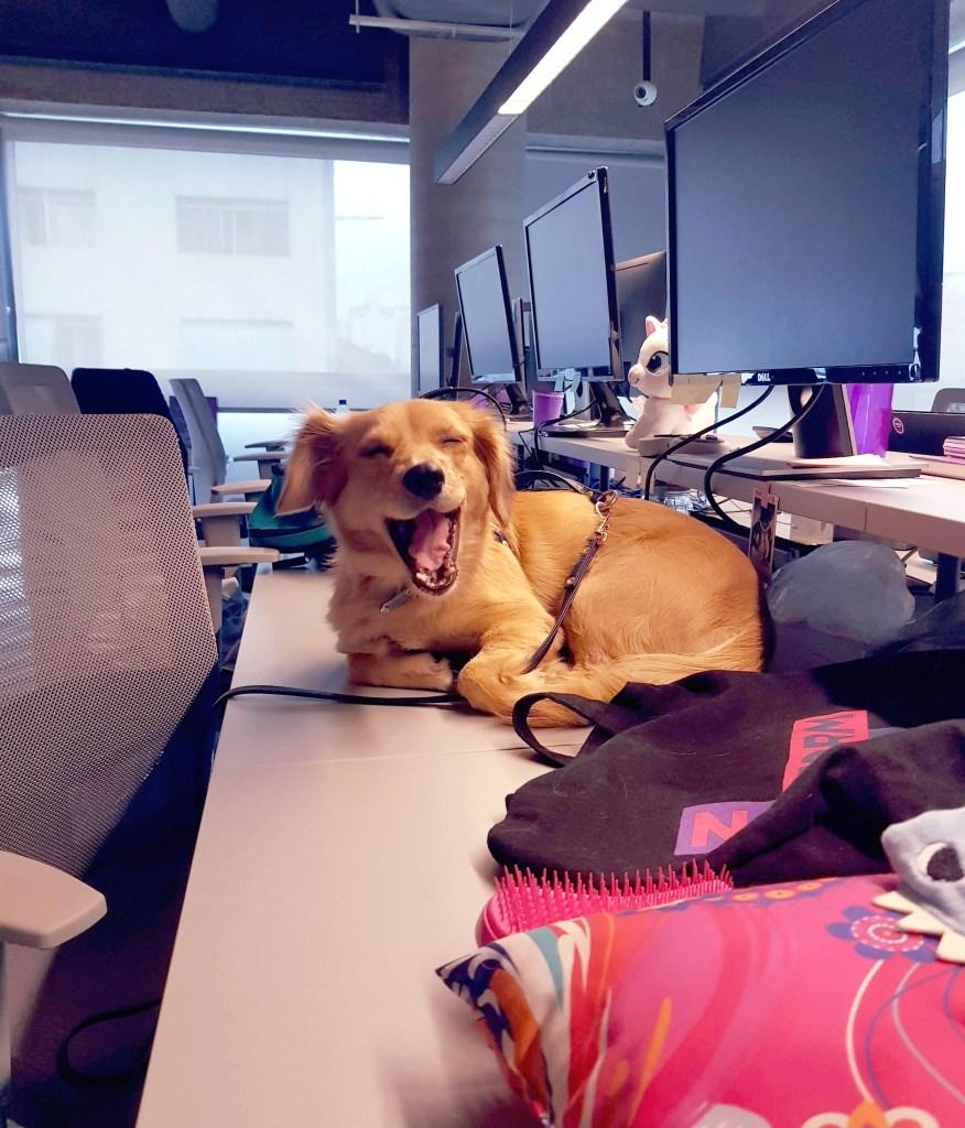 Cachorro bocejando sentado em cima de uma mesa
