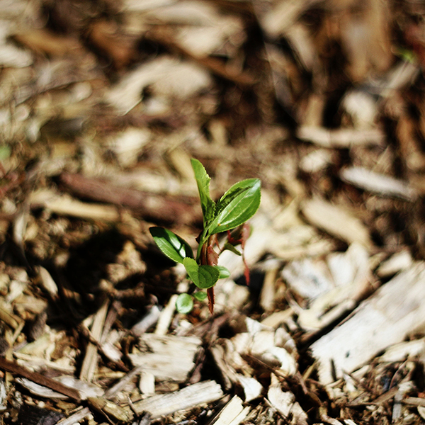Mulch plants to conserve water.