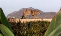 A Cougar for Christmas: Mountain Lion Strolls Through a ...