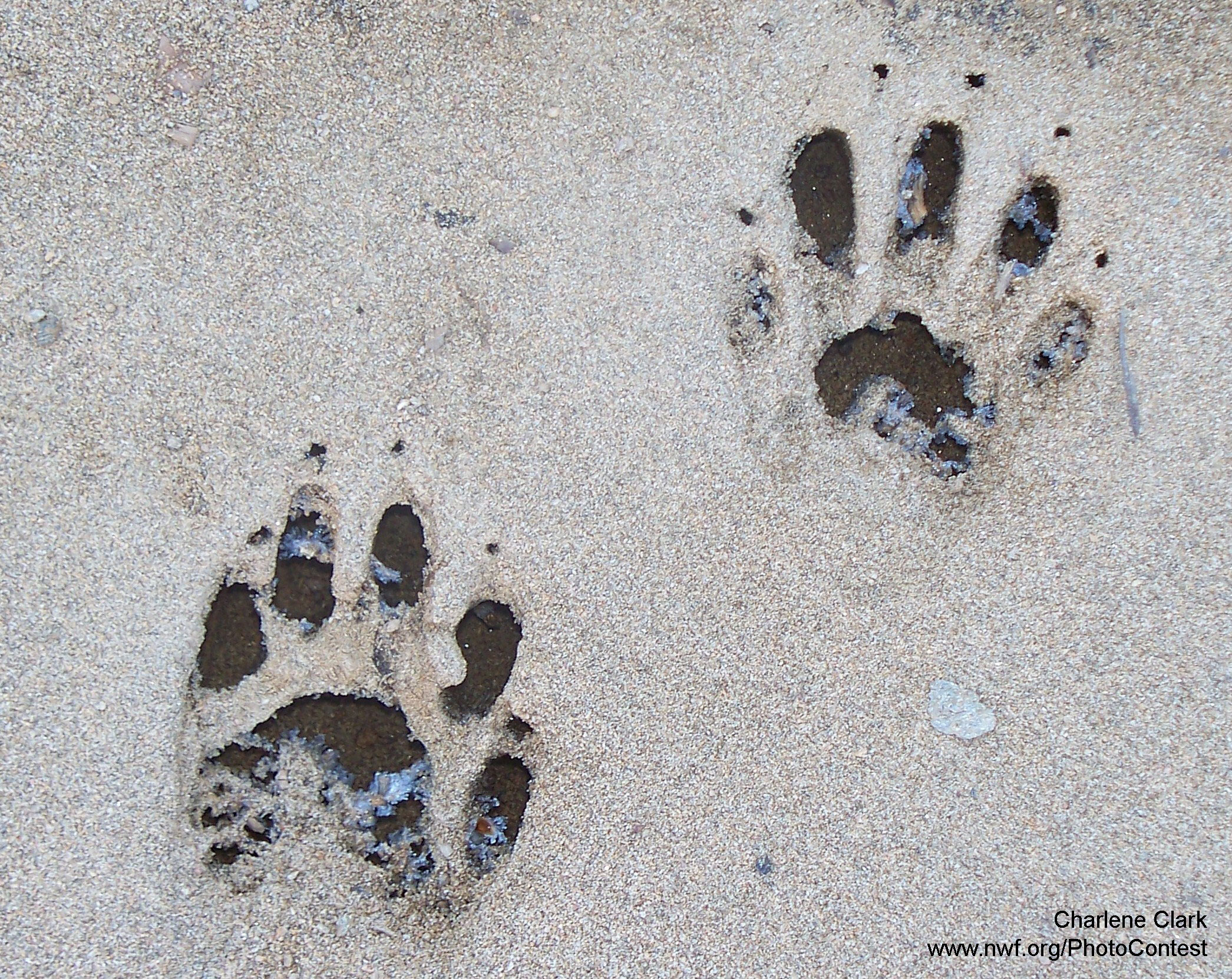 Who Goes There Identifying Animal Tracks In Your Backyard
