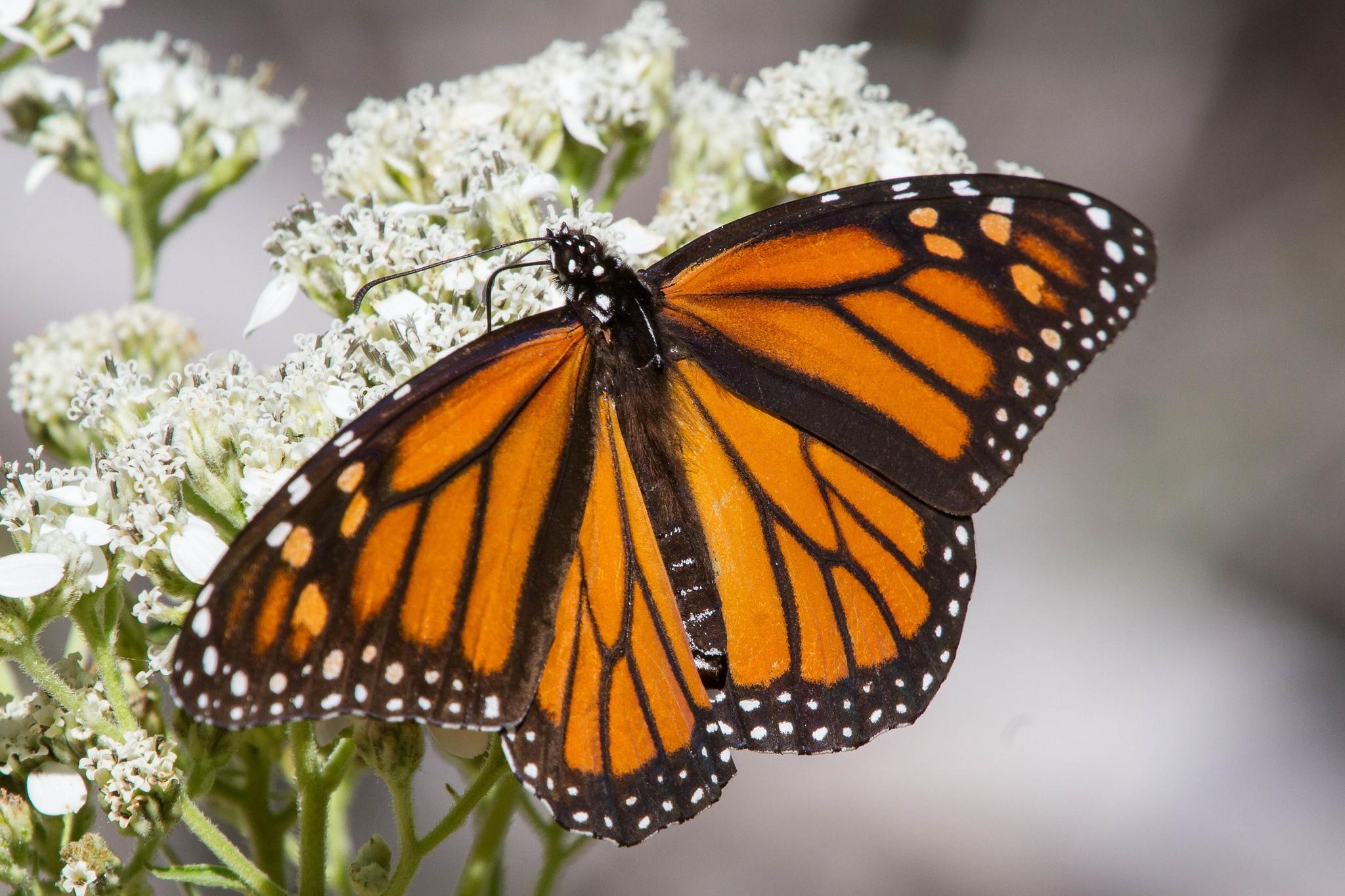 Austin Texas Creates Habitat For The Declining Monarch