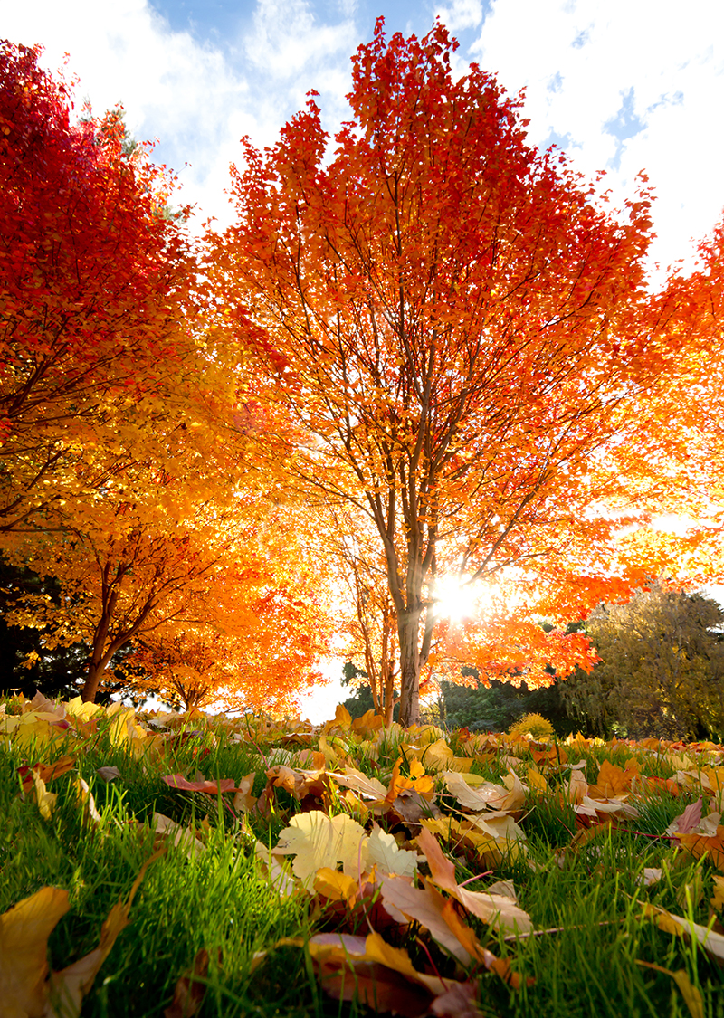 Free Desktop Wallpaper Fall Trees Pourquoi Planter 224 L Automne Blog Oleomac
