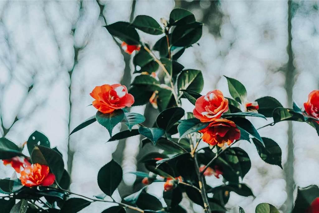 Flores de camélia em arbusto