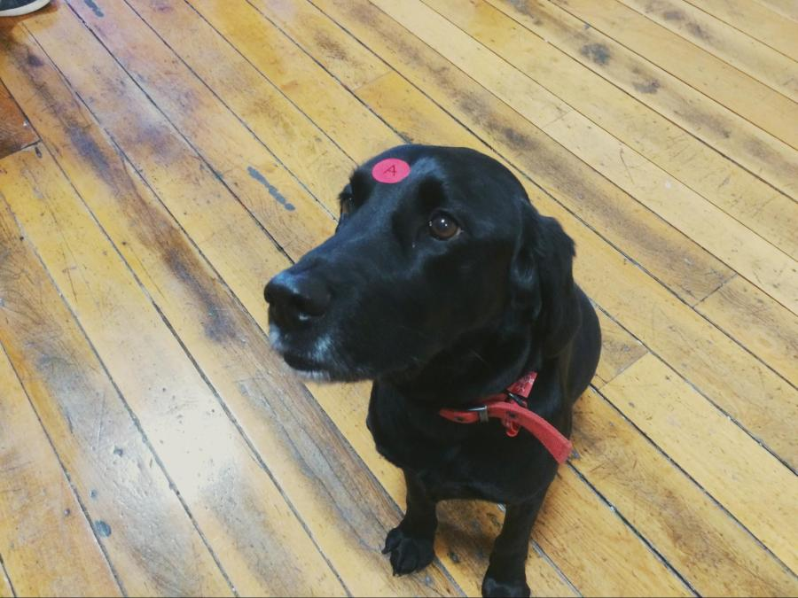 Bowie, our head of security/office dog, even took part in the sprint...kind of.