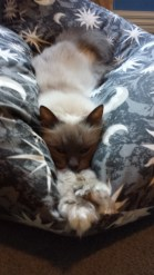 Kismet Howard – is a huge Birman who loves his beanbag. His favourite things include chicken and sitting on his little brother, Baci, before pushing him off chairs. His nickname is Grumpypants. - Jess