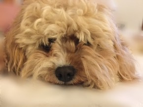 Here is our 2 year old cavoodle Rubi. She has the most expressive eyes - which everyone who meets her comments on...see for yourself! - Jo
