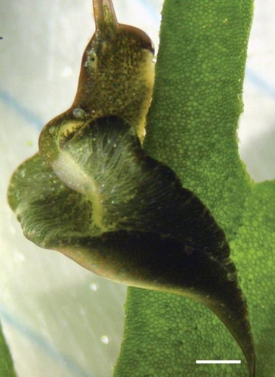 Elysia viridis feeding on Codium tomentosum. Lateral body flaps (parapodia) are present in both E. timida and E. viridis.