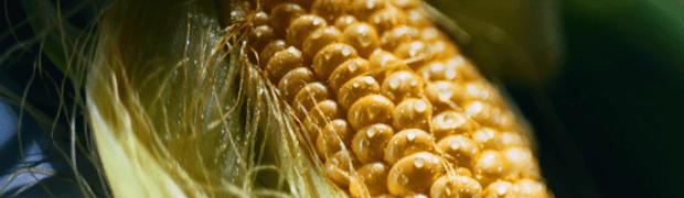 America - Corn Fed & Bred