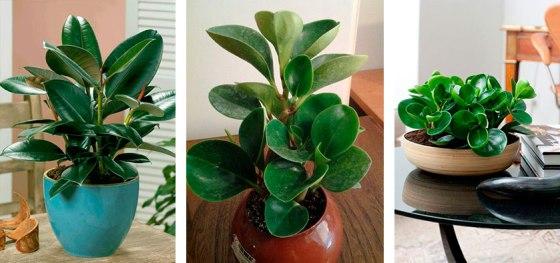 Ficus: refrigerante natural