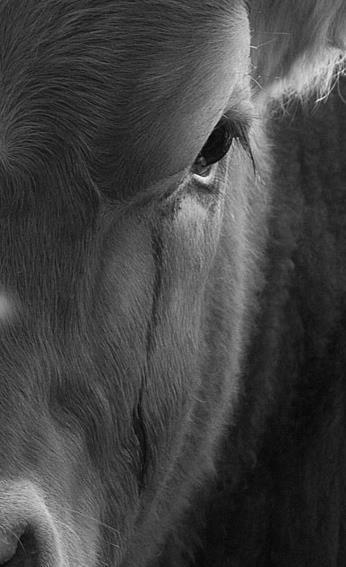 vaca llorando