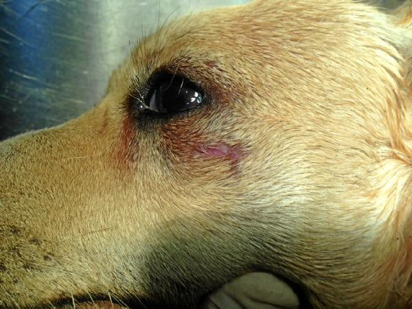 Moratón en el ojo del perro