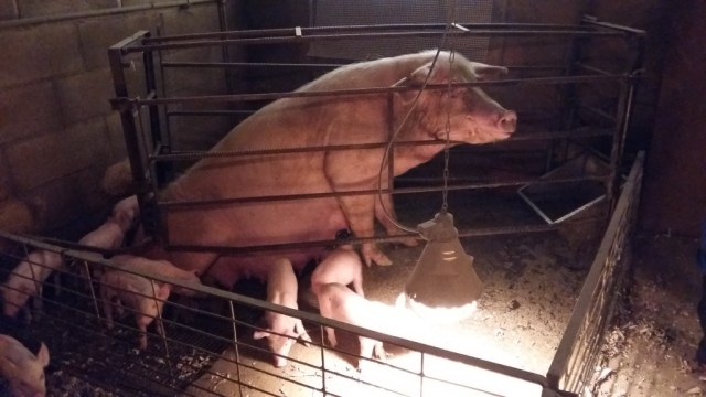 Cerdo encerrado