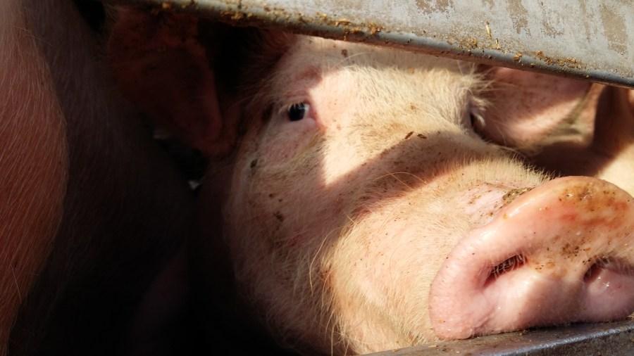 Mirada cerdo