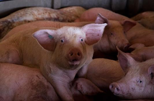 cerdo en matadero