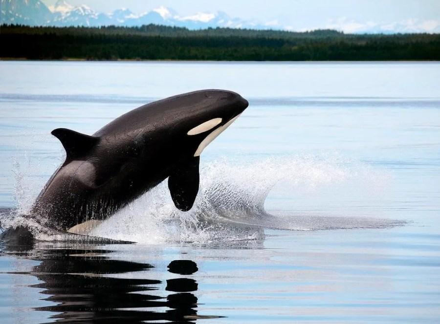 Orca en libertad