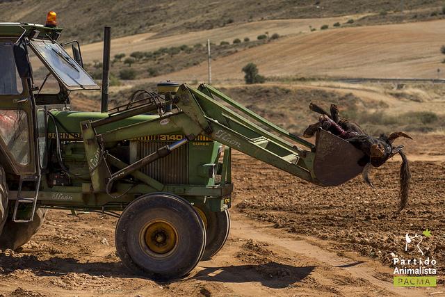 Un tractor se lleva un toro muerto en la pala.