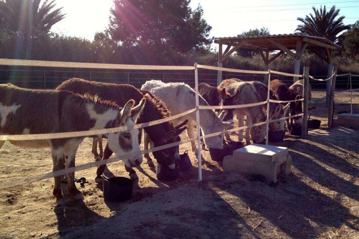 Donkeys-eating