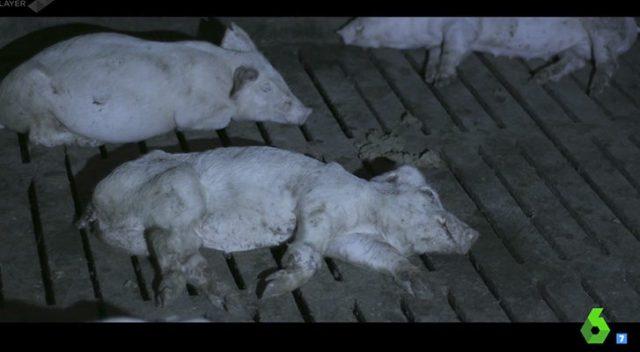 Cerdos sufriendo El Pozo