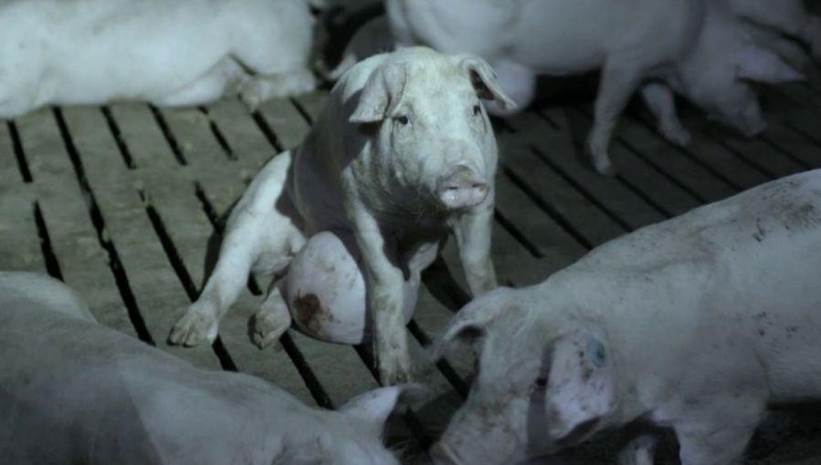 cerdo granja ElPozo Salvados