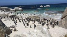 pinguïns - Boulders Beach Bij Simon's Town
