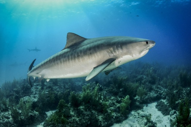 best places to dive with tiger sharks