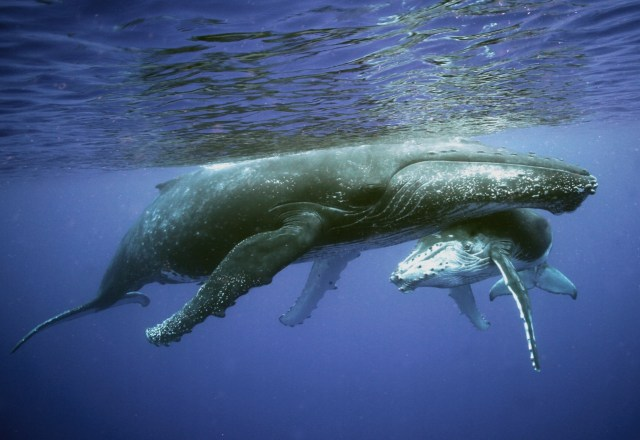 best places to swim with humpback whales credits