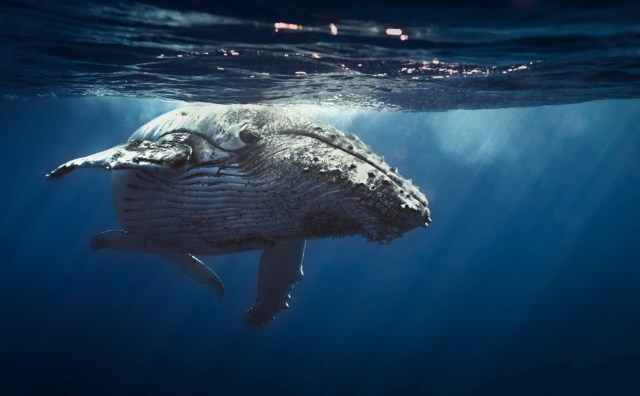 best places to swim with humpback whales watching